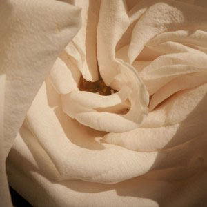 unfolding rose photo